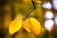 Colorful autumn leaves, Philips de Jongh Park, Eindhoven, The Netherlands, Europe.