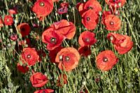 Spain, Common poppy (Papaver rhoeas), morning.