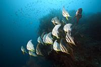 Shoal of Longfin Batfish, Platax teira, South Male Atoll, Indian Ocean, Maldives.