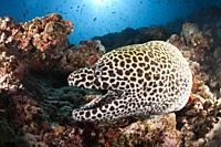 Honeycomb Moray, Gymnothorax favagineus, North Male Atoll, Indian Ocean, Maldives.