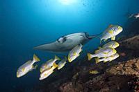 Reef Manta Ray, Manta alfredi, Ari Atoll, Indian Ocean, Maldives.