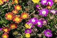 Orange and purple blooming ice plants (Delosperma cooperi) in a sunny summer flower bed.