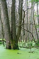 Trees standing in water full of duckweed (lemna minor) in a german swamp area - Briesetal north of Berlin, Germany.