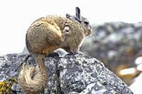 Vizcacha peruana (Lagidium Peruanum) resting and perched on rocks in its natural environment. Huancayo - Perú
