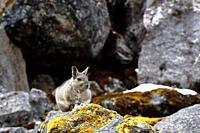 Vizcacha peruana (Lagidium Peruanum) perched on the rocks of their natural environment. Huancayo - Perú