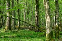 Old natural deciduous stand with oak trees and broken one lying in background, Bialowieza Forest, Poland, Europe.