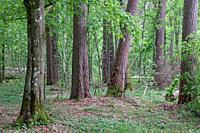 Deciduous stand with hornbeams and old pine trees in springtime, Bialowieza Forest, Poland, Europe.