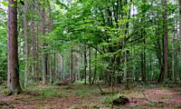 Summertime deciduous primeval stand with old hornbeam trees in background, Bialowieza Forest, Poland, Europe.