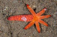 Luzon Sea Star (Echinaster luzonicus, Echinasteridae Family) regenerating from a single arm with Creeping Comb Jellies (Coeloplana astericola, Coelopl...