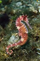 Thorny Seahorse (Hippocampus hixtrix, Syngnathidae Family), Sedam dive site, Seraya, Kubu district, Karangasem, Bali, Indonesia, Indian Ocean.