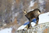 Chamois in winter, Rupicapra rupicapra, Male, Gran Paradiso National Park, Alps, Italy, Europe.