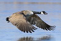 Flying Canada Goose (Branta canadensis), Hesse, Germany, Europe.