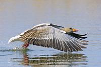 Starting Greylag goose (Anser anser), Hesse, Germany, Europe.