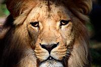 Gorgeous Portrait of Male Katanga Lion Head Closeup, Czech Republic.