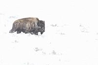 American bison ( Bison bison ), adult, during blizzard, in hard conditions, walking through high snow, Yellowstone NP, USA. .