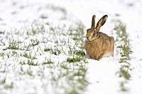 Brown Hare / European Hare ( Lepus europaeus ) in winter, sitting on snow covered farmland, wildlife, Europe.