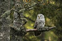 Ural Owl ( Strix uralensis) perched in an old lichen an moss covered birch tree at the edge of a boreal forest.