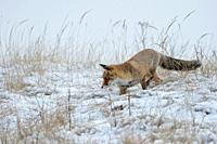 Red Fox ( Vulpes vulpes ) hunting in snow, late onset of winter, natural surrounding, wildlife, Europe.