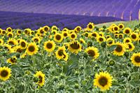 Sunflower field blooming near lavender fields during summer in Valensole plain of Provence France.