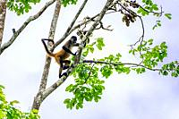 Geoffroy's spider monkey (Ateles geoffroyi) swinging from a brach. Also known as the black-handed spider monkey, is a species of spider monkey, a type...