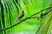 The clay-colored thrush (Turdus grayi) is a common Middle American bird of the thrush family (Turdidae). It is the national bird of Costa Rica, where ...