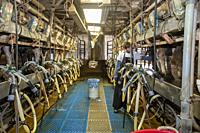 Beatrice, Nebraska - A young man milks cows in the milking parlor of a dairy farm.