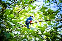 Cuban Trogon in the nature reserve of Las Terrazas, Pinar del Rio, Republic of Cuba, Caribbean, Central America.