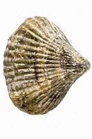 Brachiopoda fossils, jurassic animals of Germany.