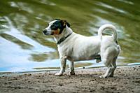 Little white Jack Russel breed like dog with short legs is playing on a beach near a lake on a sunny autum day.