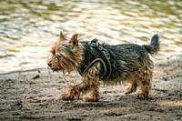 Cairn terrier cross breed for a walk on a beach near a lake on a sunny autumn day.