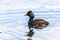 Germany, Bostalsee - A black-necked grebe on a pond.