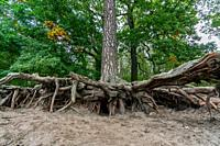 Surreal bare roots of a hugh tree above ground at Lake Grunewald in Berlin, Germany