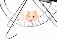 A worried-looking white hamster poses in an exercise wheel in Laguna Beach, CA.