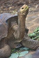 Galapagos giant tortoise (Chelonoidis nigra), Charles Darwin Research Station, Galapagos Islands, Ecuador.