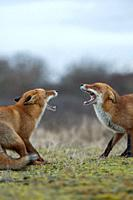 Red Fox / Rotfuchs ( Vulpes vulpes ), confrontation of two adults, standing in opposite, fighting, threatening, wide open jaws, trying to chase each o...