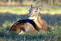 Close Up of Young Mouflon Male Lying in Grass Winter Portrait Ovis Aries Musimon Czech Republic.