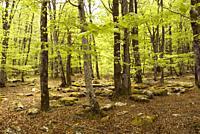 Beech forest, Monte Santiago Natural Park, Las Merindades County, province of Burgos, Castilla y Leon, Spain