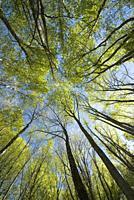 Las Pisas Beech wood, Villabascones, Las Merindades County, province of Burgos, Castilla y Leon, Spain