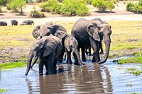 A herd of African Elephants drinking water in a watering hole. Photographed at Chobe National Park Botswana.