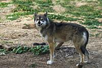 Arabian wolf (aka desert wolf Canis lupus arabs). This wolf is subspecies of gray wolf. Photographed in Israel, Negev desert.