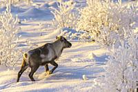 Reindeer, Rangifer tarandus in snow among trees, in nice afternoon light, Gällivare, Swedish Lapland, Sweden.