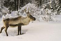 Reindeer, Rangifer tarandus with antler in snow among trees, in nice afternoon light, Gällivare, Swedish Lapland, Sweden.