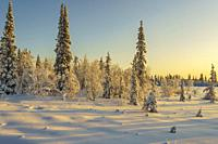 Winter landscape in nice warm color from afternoon light, snowy trees, Gällivare, Swedish Lapland, Sweden.