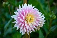 "Detailed close up of a beautiful pink and white german """"Elke Graefin von Pueckler"""" cactus dahlia flower blooming in bright sunshine."