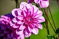 "Detailed close up of a beautiful pink """"Lilac time"""" dahlia flower blooming in bright sunshine."