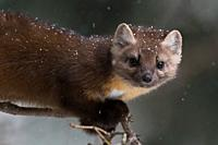Pine Marten (Martes americana) in winter, close-up of a playful young animal climbing in a tree, Yellowstone NP, USA. .