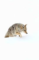 Coyote / Kojote ( Canis latrans ), in winter, walking through, climbing over high snow, on its way through deep snow, looks exhausted, Yellowstone NP,...