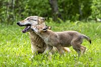 : Etats-Unis, Minnesota , Loup (Canis lupus), Adulte avec jeunes, captif / United Sates, Minnesota, Wolff (Canis lupus), Adult with youngs, captive.