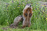 : Etats-Unis, Minnesota , Marmotte commune (Marmota monax), captif / United Sates, Minnesota, Groundhog or Woodchuck (Marmota monax) captive.