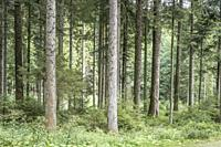 fir logs and underwood in Black Forest, shot in bright summer sun light near Lossburg, Stuttgart, Baden Wuttenberg, Germany.